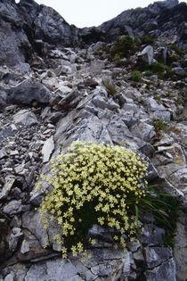 Minuartia macrocarpa (Pursh) Ostenf. var. jooi (Makino) Hara by Yukio Otsuki