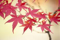 Acer palmatum (Colored leaves) by Yukio Otsuki