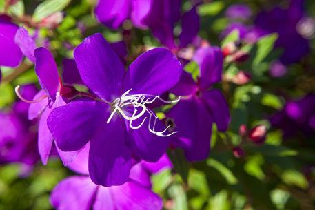 Amaze-n-place-tibouchina-flower-7277