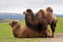 Pair of Bactrian camels by Linda More