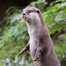 Cute Otter standing up  von Linda More