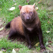 Bush Dog sitting looking at camera by Linda More