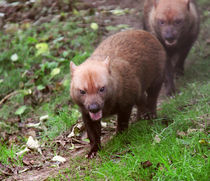 Bush Dogs walking in woods by Linda More