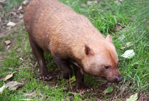 Bush Dog searching for food in woods by Linda More