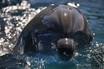 Dolphin Head von Eye in Hand Gallery