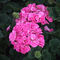 Pink-geraniums