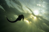Seahorse silhouette, underwater view by Sami Sarkis Photography