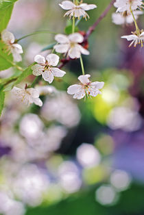 cherry tree von Ekaterina Samorukova