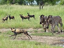 Zebras chasing a African Wild Dog(endangered). by Yolande  van Niekerk