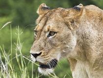 Lioness,lion female, facial portrait by Yolande  van Niekerk