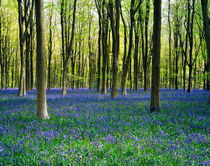 Bluebell Woods, Wiltshire, England. by Craig Joiner
