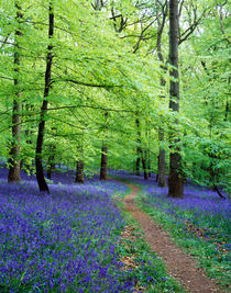 Forest of Dean Bluebells, Gloucestershire, England by Craig Joiner