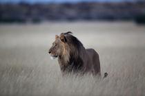 Lion by Martin Kristiansen
