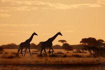 Giraffes in the sunset by Martin Kristiansen