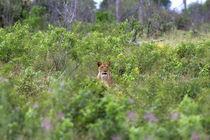 Lion lookout by Martin Kristiansen