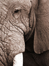 Old man Elephant. Close up von Yolande  van Niekerk