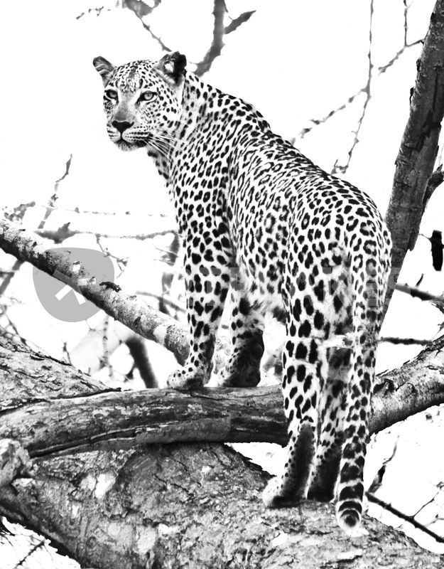 Leopard standing in tree black white