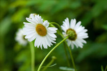 Sweethearts Daisies by Alina Victorovna Mayboroda