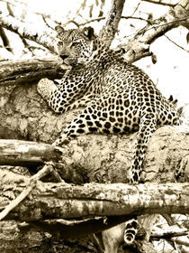 Leopard in tree. South Africa. Sepia von Yolande  van Niekerk