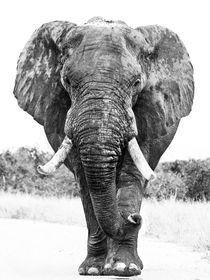 Large African elephant bull after bathing, Black and White von Yolande  van Niekerk