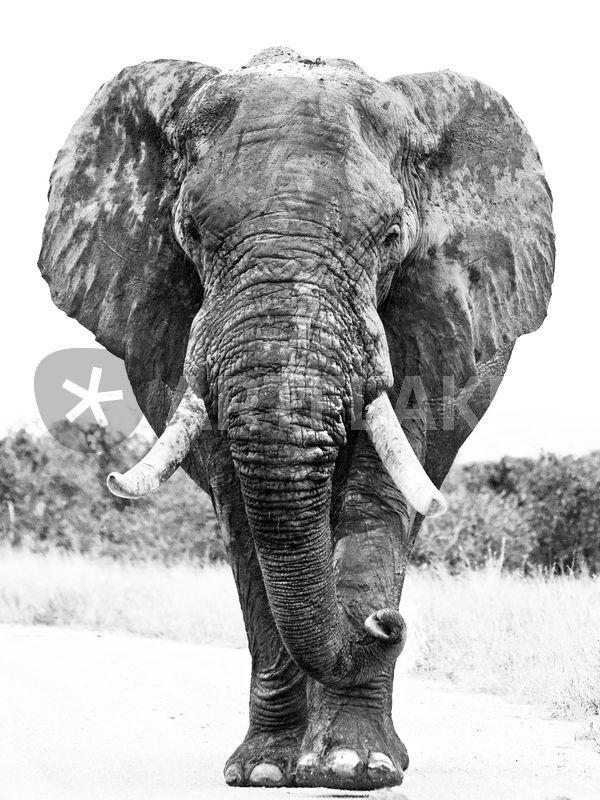 Elephant in road bw