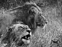 Lions male portrait black & white by Yolande  van Niekerk