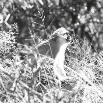 Grüne Meerkatze / Vervet Monkey von Eva Stadler