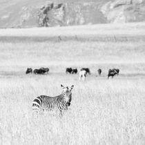 Mountain Zebra National Park, South Africa by Eva Stadler