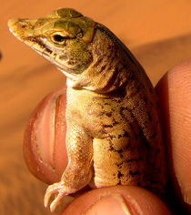 desert lizard von james smit