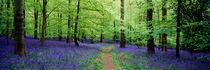 Forest of Dean Bluebells by Craig Joiner