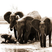 bathing elephants by james smit