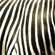 zebra by james smit