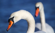2 Mute Swans by James Deane