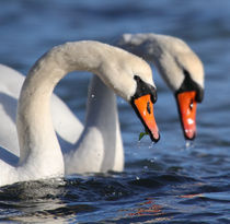 Mute Swans  by James Deane