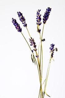 Lavendel by Oezen  Gider