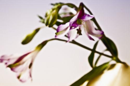 Lilien2