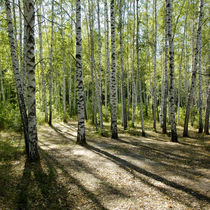 sunshiny birch grove von pasha66