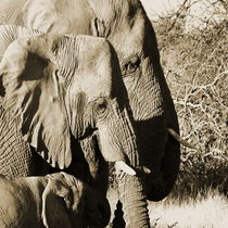 the african elephant family von james smit