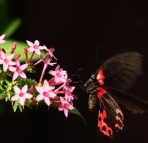 butterfly in flight by james smit