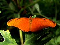 butterfly by james smit