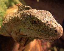 Iguana by james smit