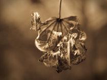 Dry leaf von Alexander Radosnov