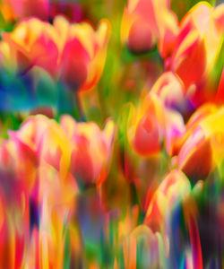 Multicolor-tulip1