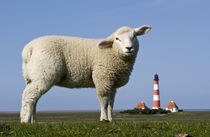 Lamm vorm Westerhever Leuchtturm von Annette Sturm