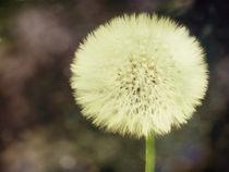 Dandelion von Sybille Sterk