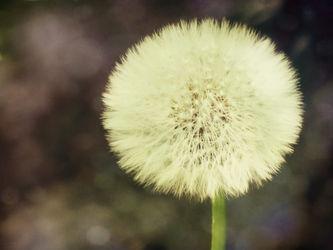 Dandelion-c-sybillesterk