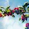 Pinkhawthorn-c-sybillesterk