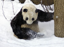 Panda_0046