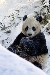 Panda_0030 von Dennis Tarnay Jr