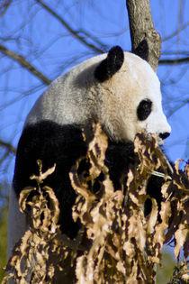 Panda_0034 von Dennis Tarnay Jr